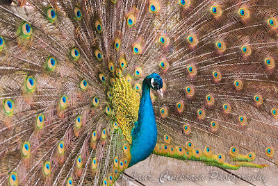 Pauni Peacocks Pfauen Pavos reales-Club Vila Bran