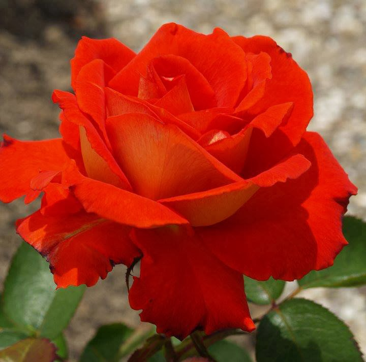 cute pure red rose wallpaper