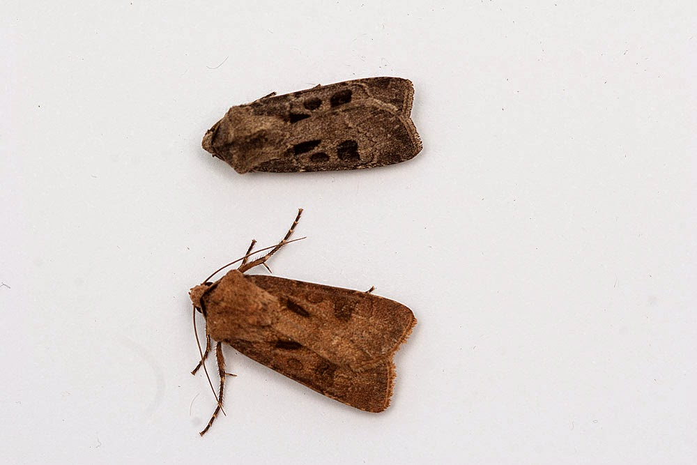 Heart & Dart (a comparison of the grey and brown variants) - Great Holm, Milton Keynes