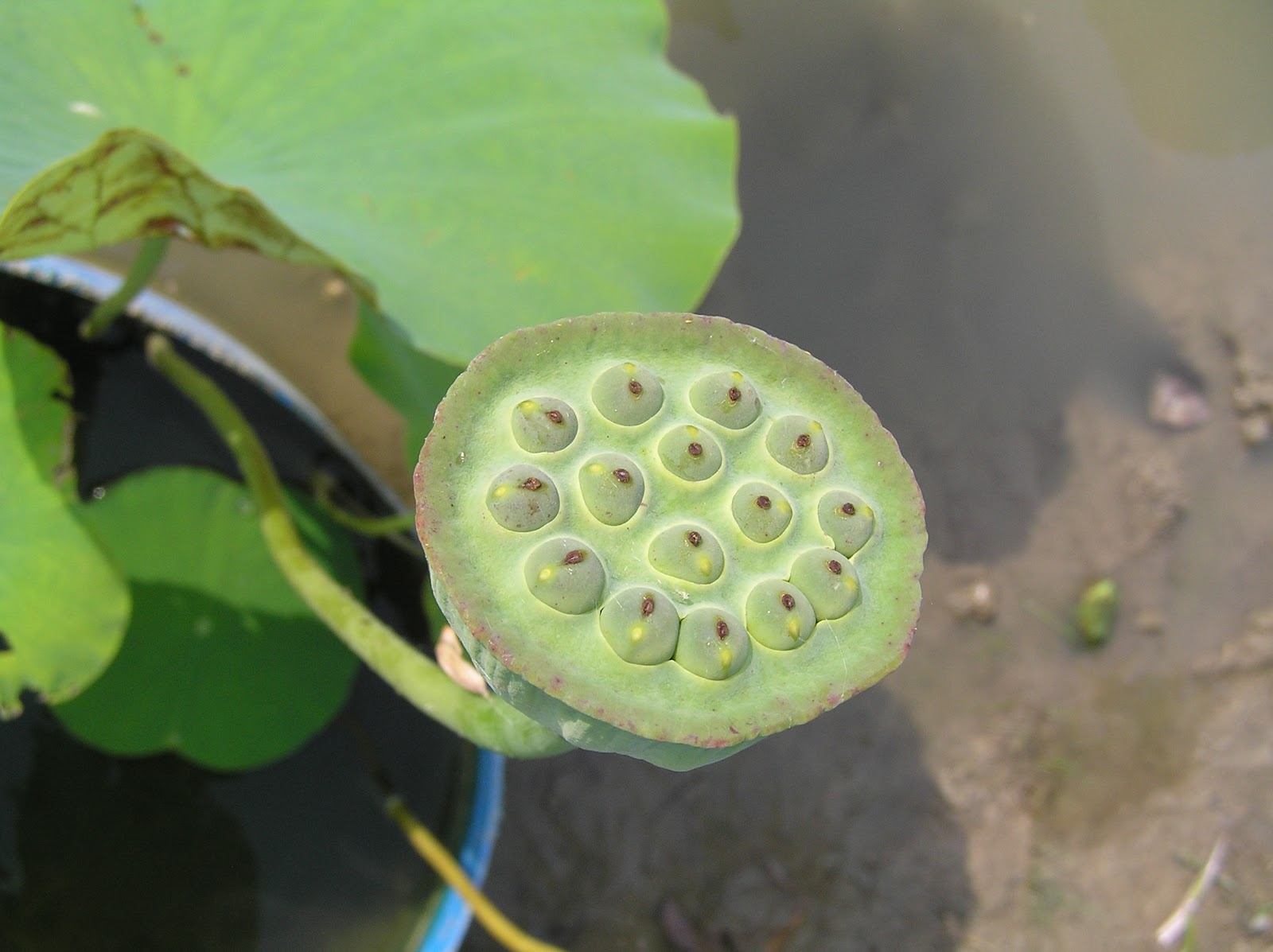 Rare Edible Root Crops Pond With Water Lotus And Water Lily