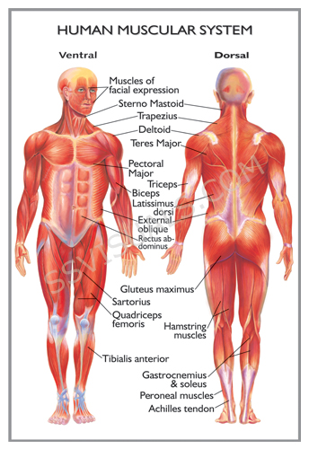 Mastering Anatomy And Physiology Why You Need To Use Human Anatomy