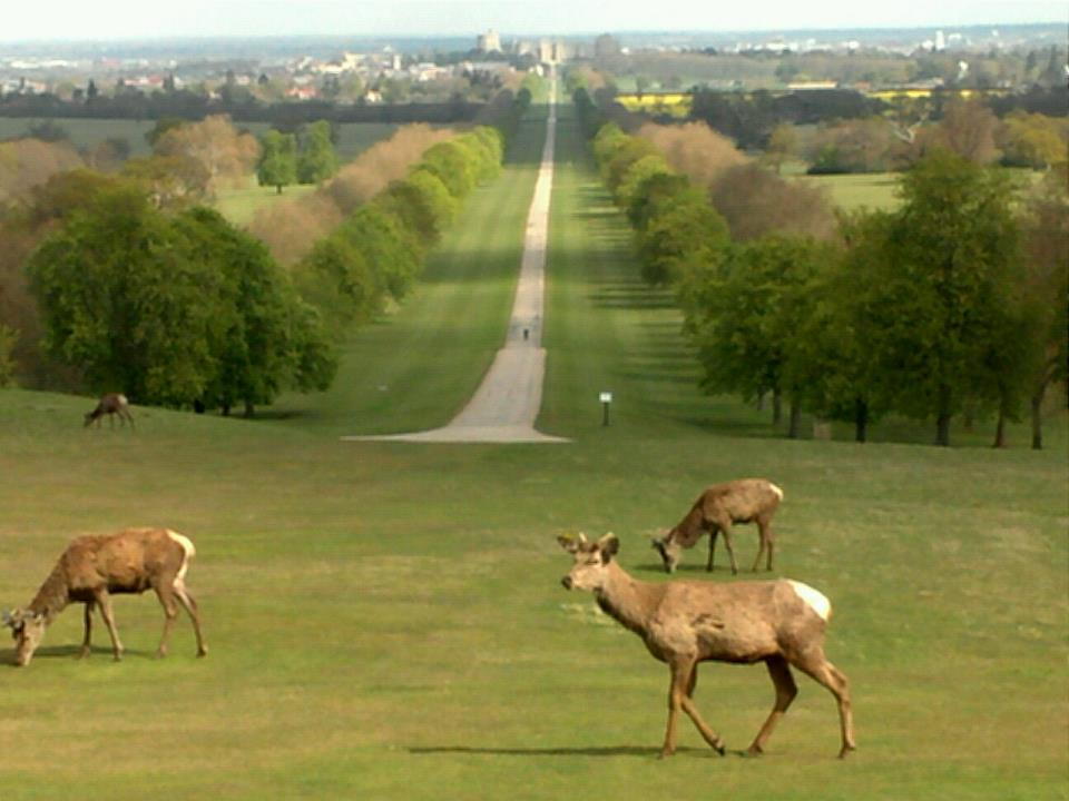 Deer at Long walk, Windsor Castle