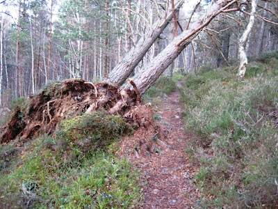 A tree over the trail around Craigendarroch, Deeside