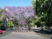 La Plata Mi ciudad. La Plata mi ciudad, sus diagonales. la plata jacaranda