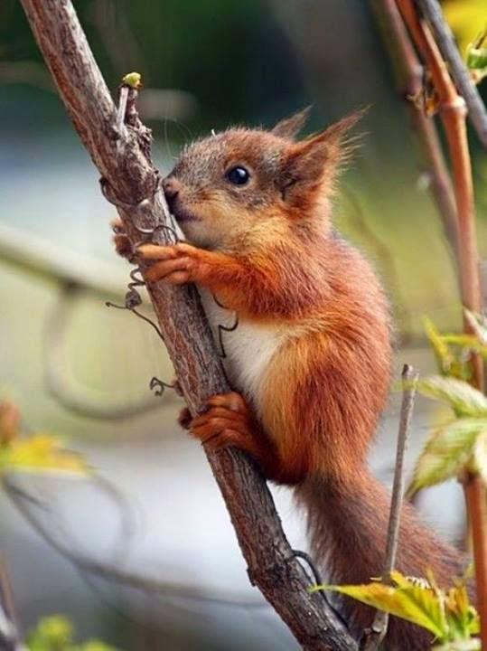 Descrição da imagem: Um filhote de esquilo de perfil, agarrado a um tronco fino em direção ao alto. O corpo pequeno está coberto por pelos longos de aspecto macio em tons de caramelo. A cara e barriga são mais claras, as orelhas pequenas e pontudas, com tufos de pelos nas pontas, os olhos redondos e delicados, o focinho arredondado e o rabo é longo com pelagem densa.