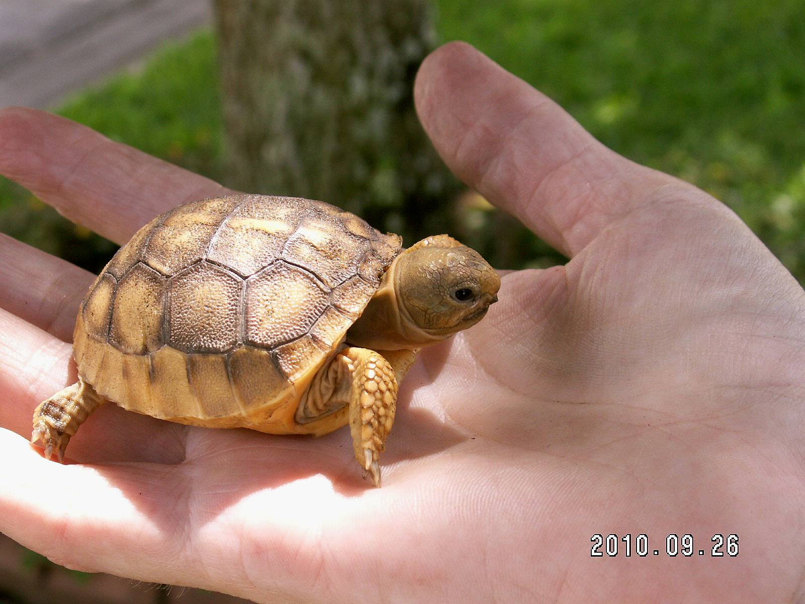 Gopher Tortoise Pictures Baby Baby Gopher Tortoise Found in