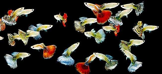 ... tergolong gampang. Ikan Guppy tidak sama dengan ikan Cupang