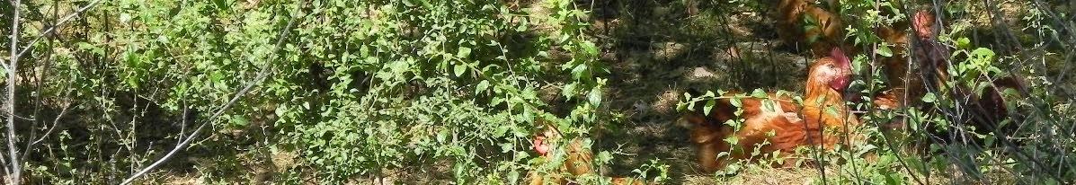Pollastre de pages de Seva