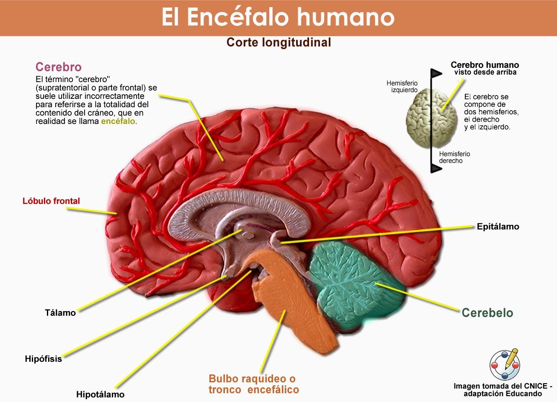Elementos de Anatomía y Fisiología Humana: Anatomía del encéfalo