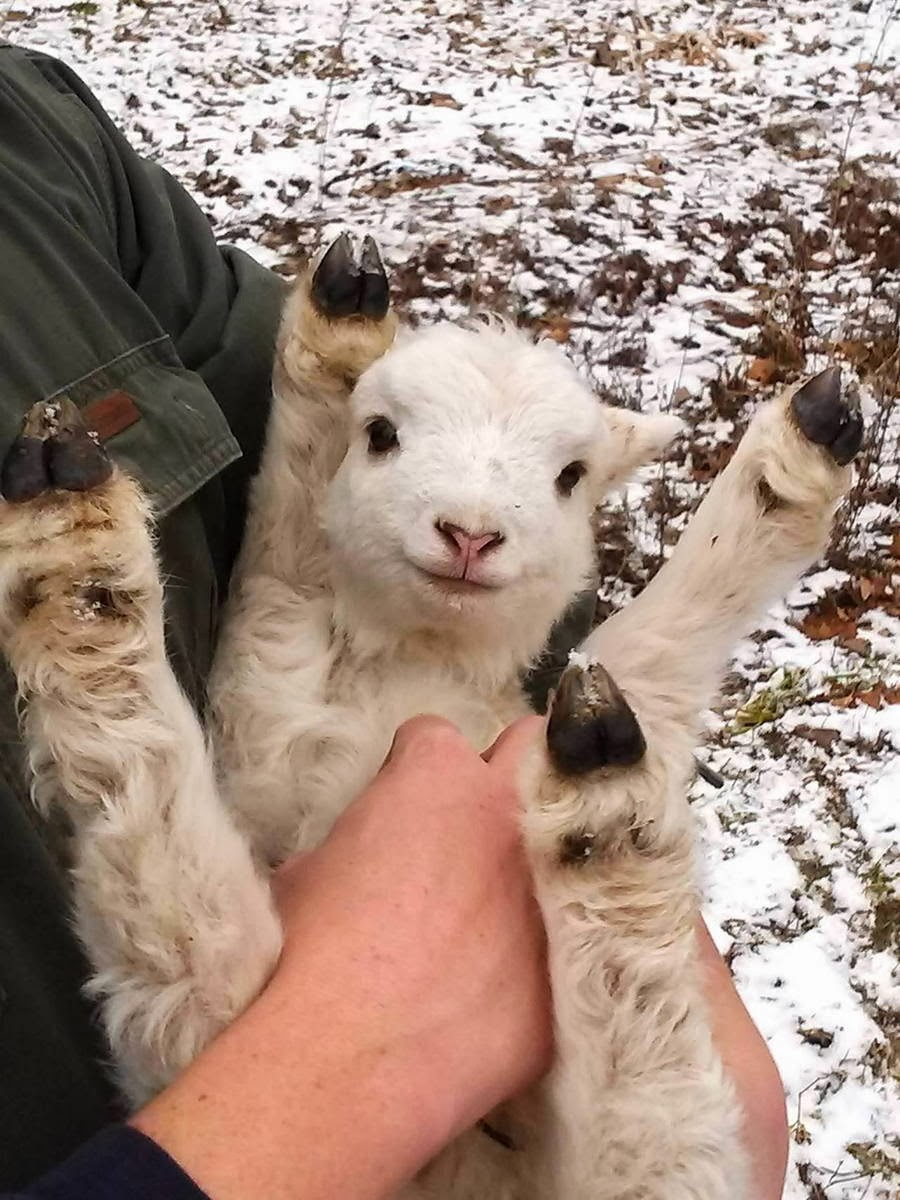 Funny animals of the week - 28 February 2014 (40 pics), cute baby sheep picture