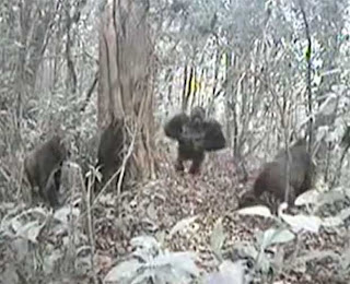 camera trap, Cross River gorilla, what are endangered species, Wildlife Conservation Society