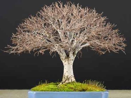 Bons i cuidados b sicos jardinosfera - Cuidado del bonsai ...