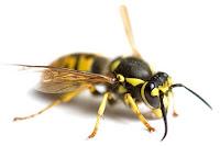 wasp - Hymenoptera