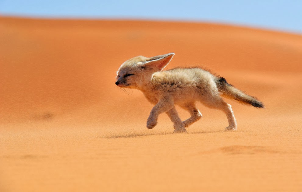 Funny animals of the week - 7 February 2014 (40 pics), fennec fox in the desert
