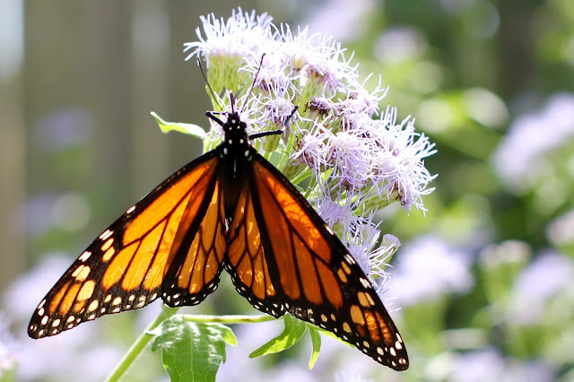 Monarch Butterfly on Blue Mist Flower-Needville, Texas