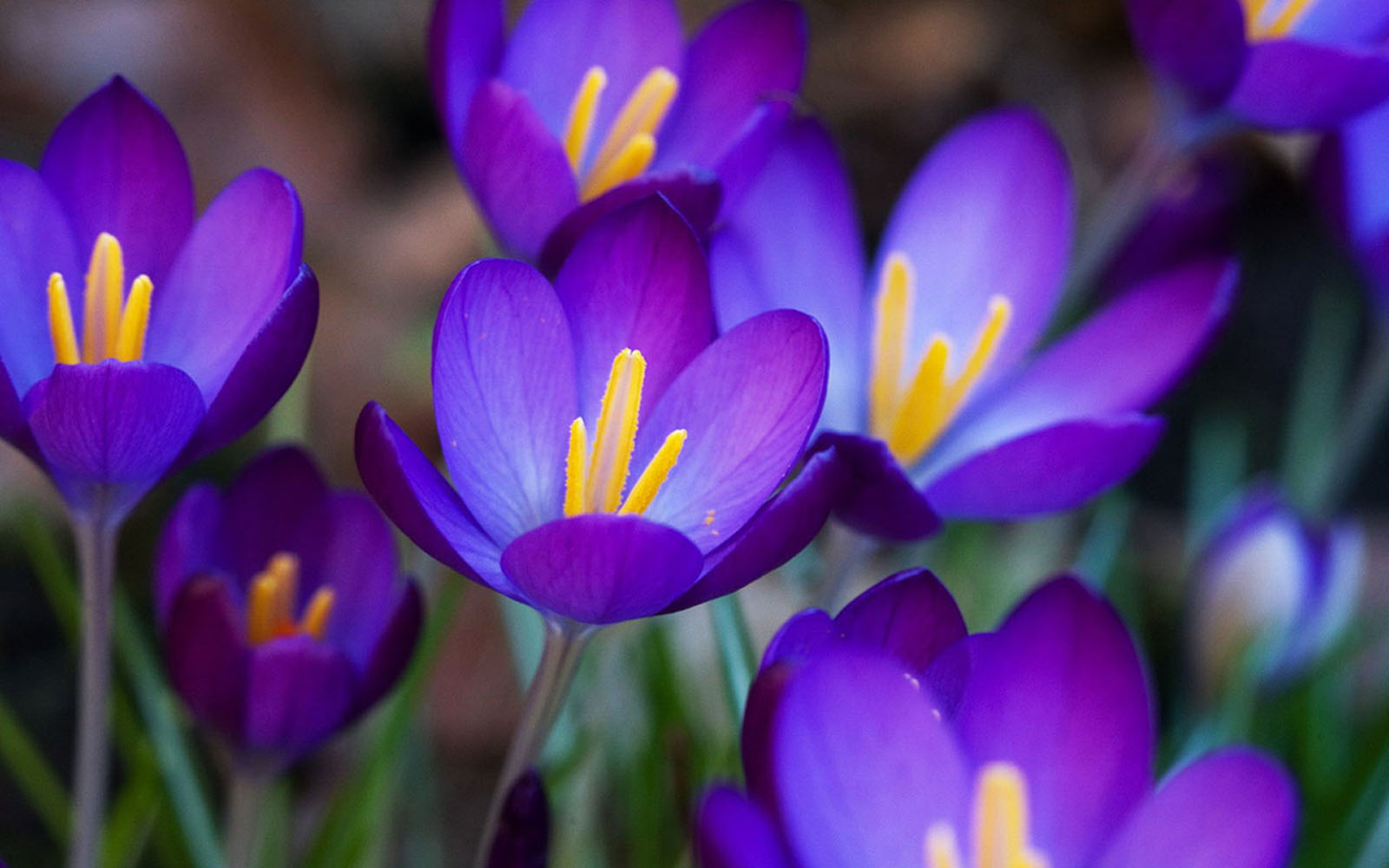 Crocus, a type of spring blooming bulb