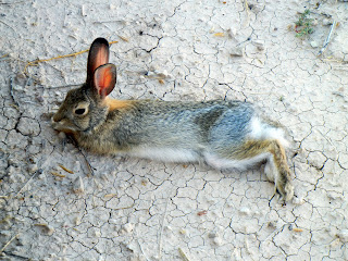 Tired rabbit at the Badlands National Park in South Dakota