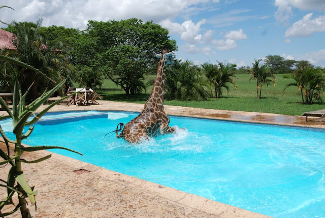 Funny giraffe playing in swimming pool, funny animals, funny giraffes, giraffe pictures, giraffe photos