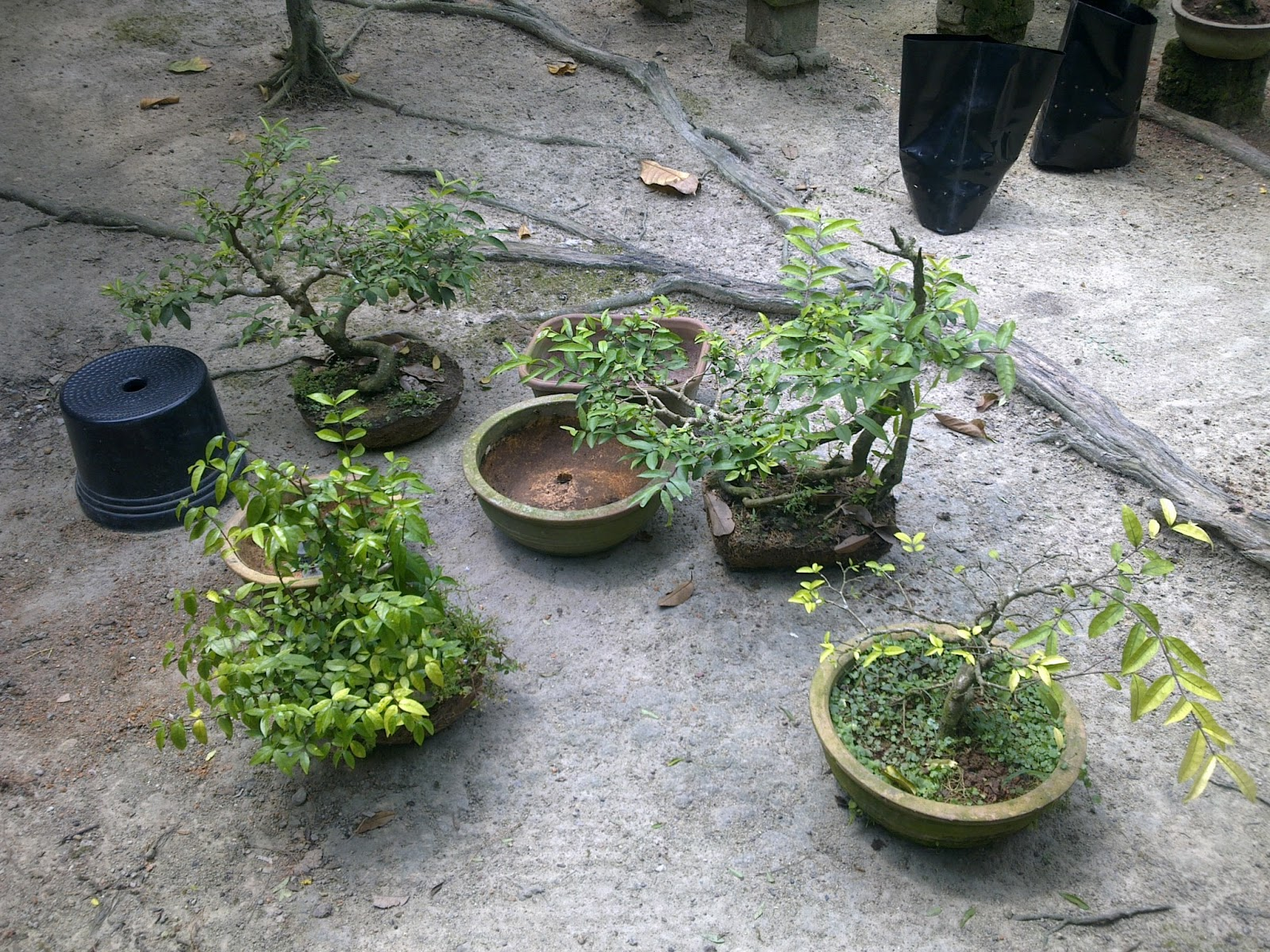 PEDAS AGRO FARM Repot Bonsai Oct 2012
