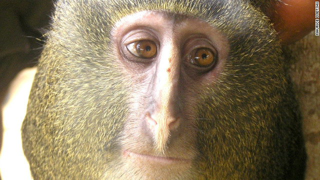 New monkey species identified in Democratic Republic of Congo