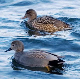 Anas strepera pair - Fauna Iberica - Fauna Española - http://spanishfauna.blogspot.com.es