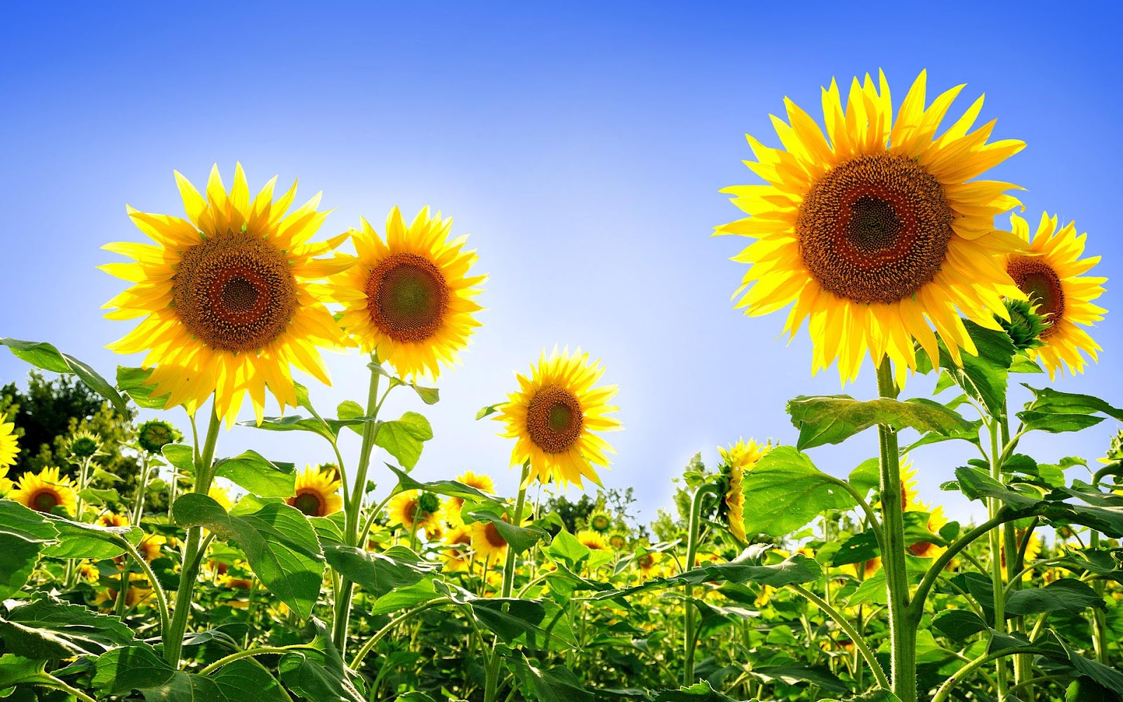 HD Sunflowers Wallpapers Top Best HD Wallpapers for Desktop