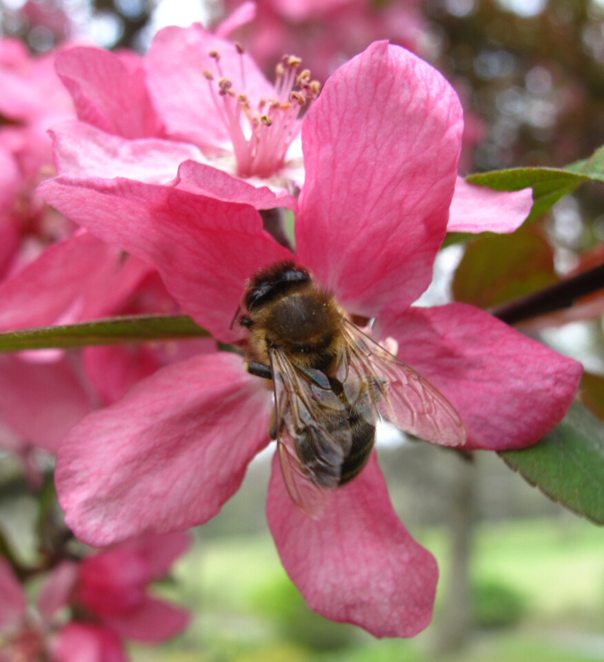 The joyce road neighborhood spring flowers and bees the flowering crab apple trees in our lawn have started to bloom and a content buzz of honey bees is heard near the trees mightylinksfo