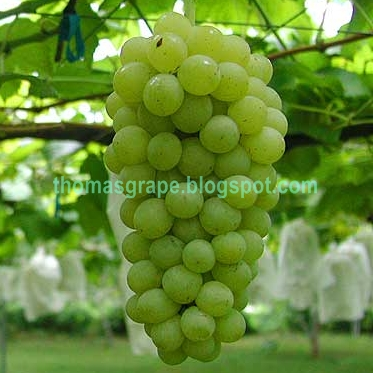 THOMASGRAPE: STOCK BIBIT ANGGUR