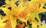 Estas Flores podrías dedicarlas a alguien que aprecies mucho y colocarlas en . flores amarillas