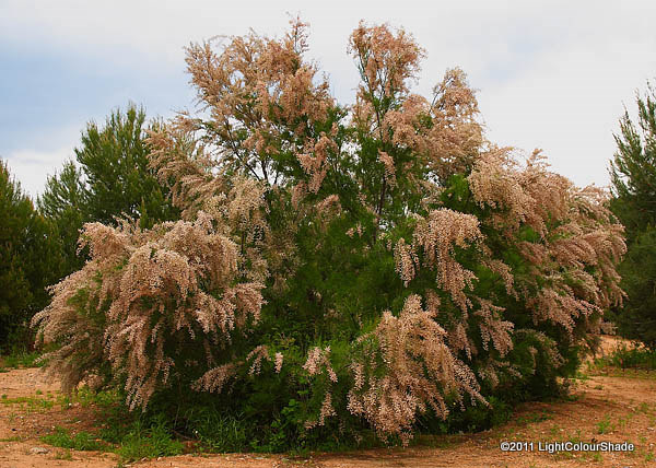 Pale pink tamarix tree in full blossom