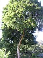 brazilian teak tree cumaru hardwood