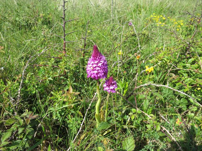 Orchidée Pyramidal