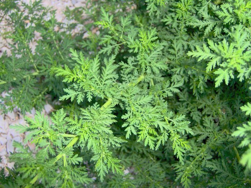Natural drugs for Tipos de hierbas medicinales