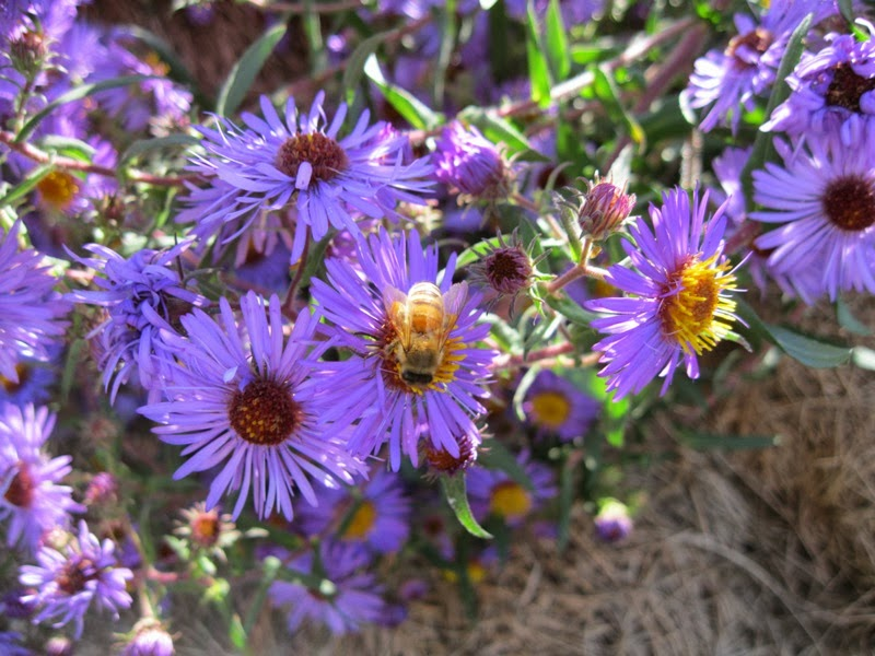 Plants And Stones Autumn Asters My Fall Favorites