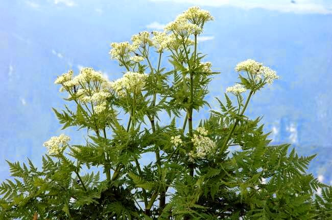 Benefits Of Sweet Cicely (Myrrhis Odorata) For Health