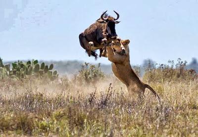 Lion Attacking Bison
