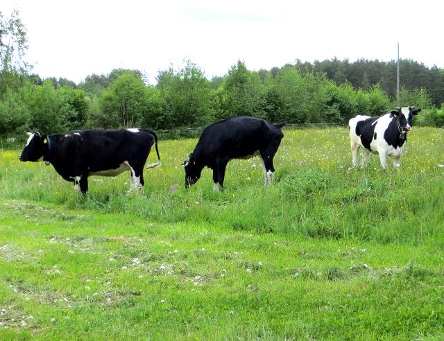 cows lehmiä