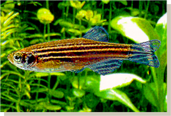Tropical Fish Asia Ornamental Fish Family Most Popular In