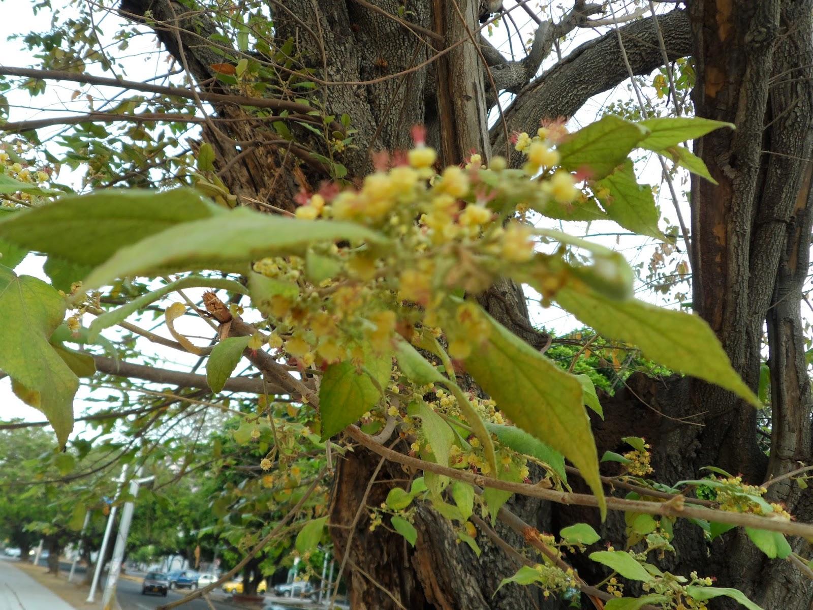 El espectacular árbol de guásimo | Ernesto Guerra