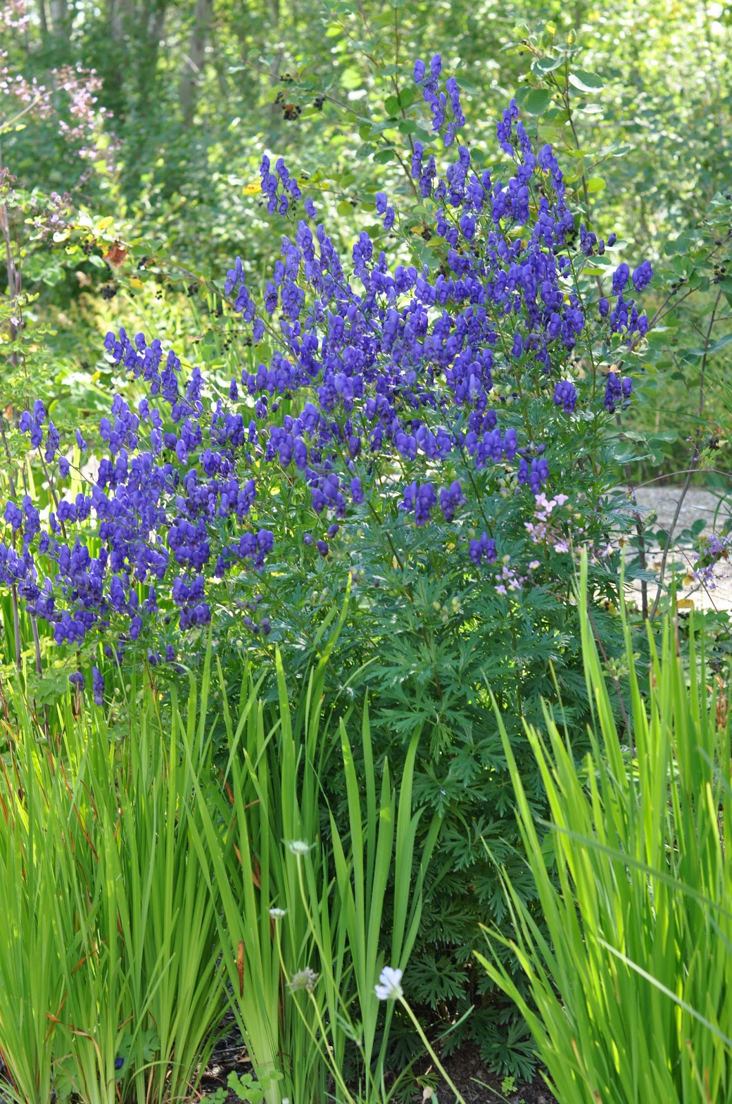 Northern exposure gardening plant list hardy perennials for Hardy plants for the garden