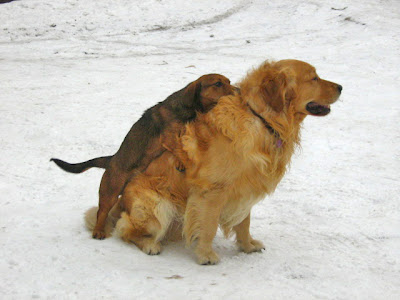 small dog humping a big dog