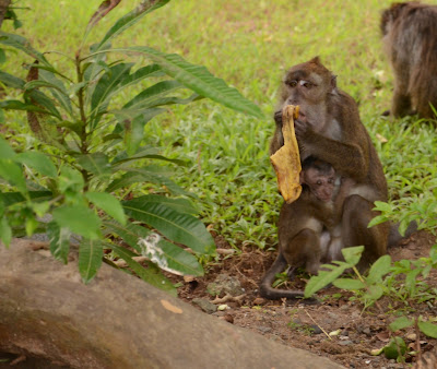 monkey mama eating banana