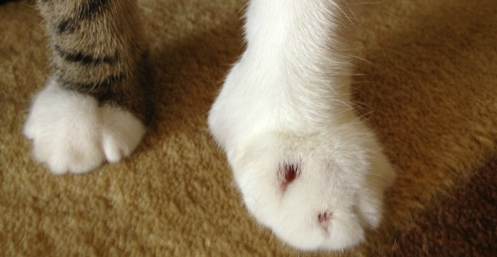Cat S Back Leg Is Swollen