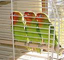 Lilians lovebird
