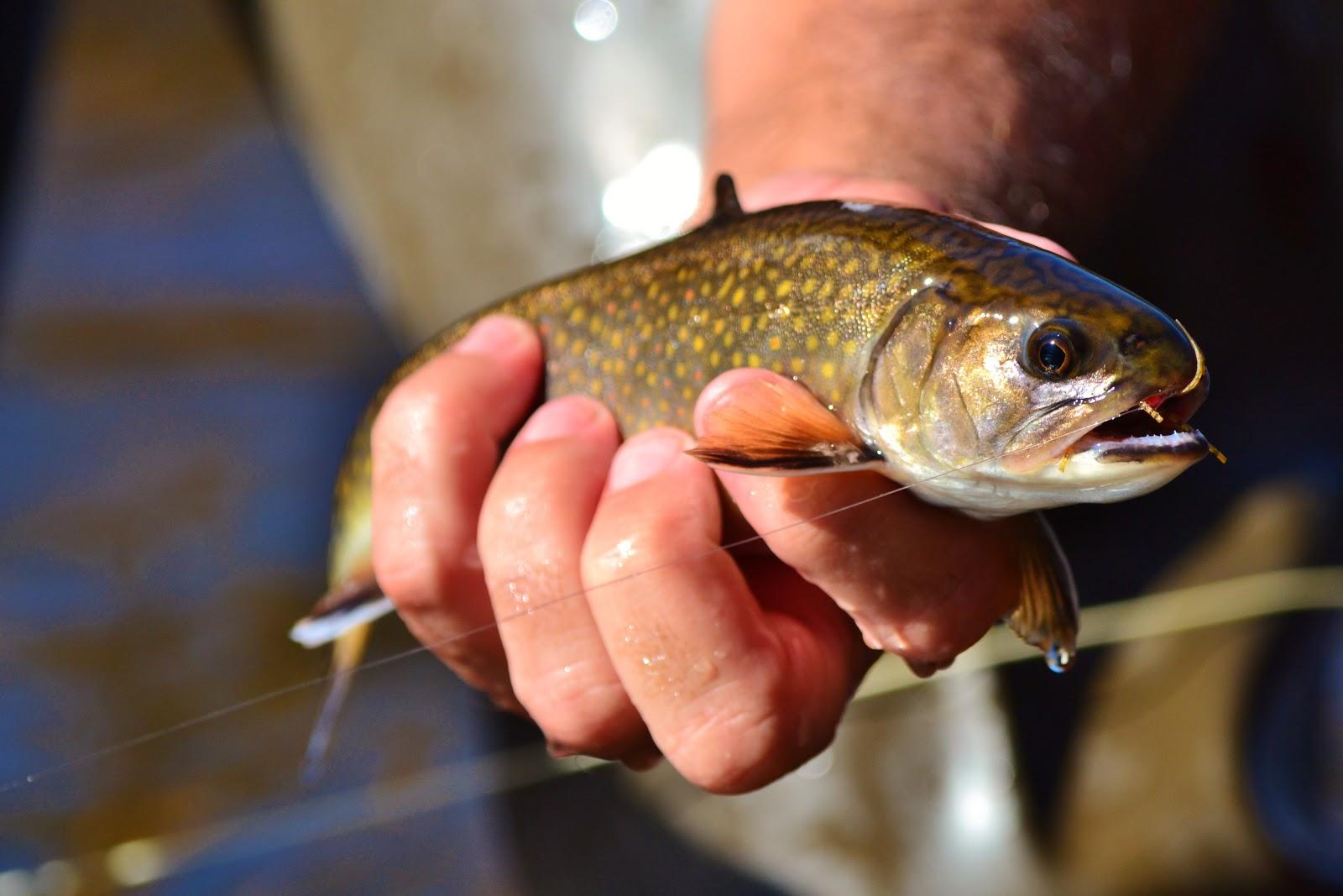 The pine island angler western north carolina trout fishing for North carolina trout fishing
