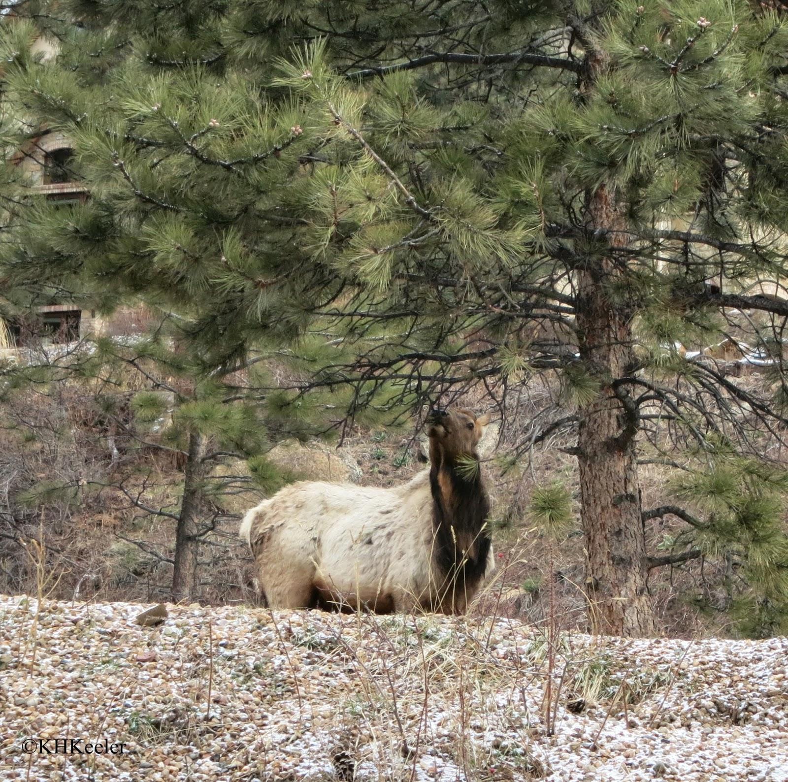 elk eating pine needles