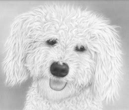 Bichon Frise Head Study