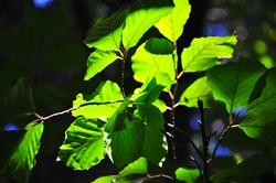 Blattgrün,- wie die grünen Blätter...