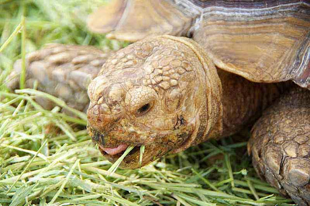 close-up, large turtle, eating grass
