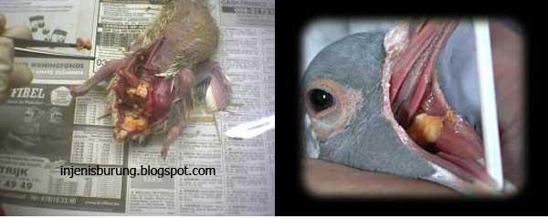Penyakit Trichomoniasis - Penyakit Burung Dan Cara Mengobati